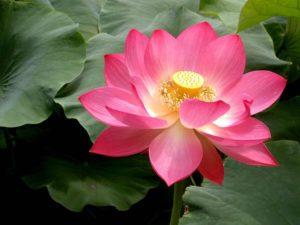 pink lotus flowers 1